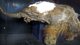 Des cellules de mammouth laineux vieilles de 28 000 ans montrent des signes biologiques de vie