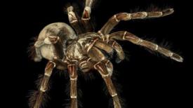 12 faits sur l'araignée Goliath, un géant étonnamment gentil