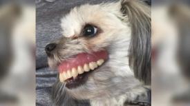 Un homme perd son dentier, regarde sous la table et voit un chien avec un sourire tout neuf